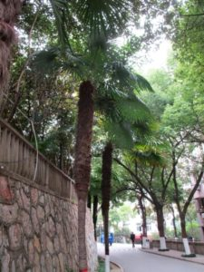 Palm trees growing along an old stone wall on the Anhui Normal University old campus in Wuhu, Anhui, China.